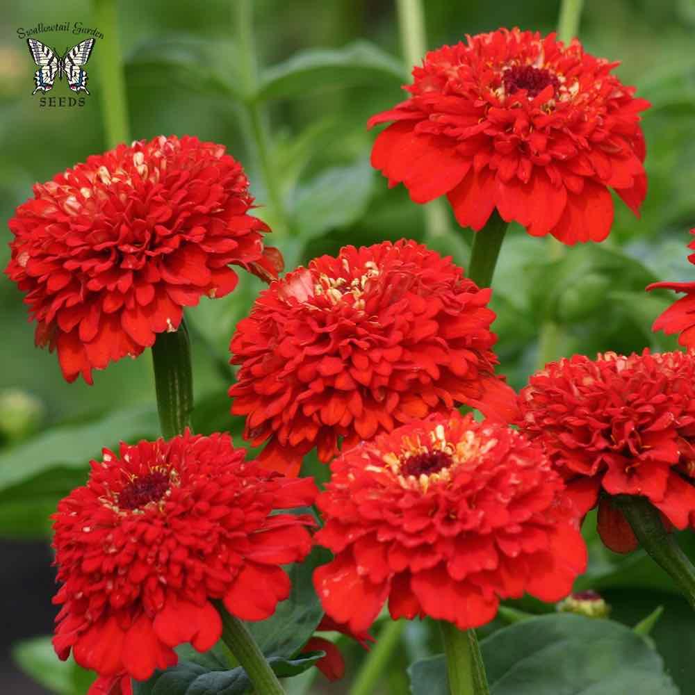 Zinderella Red zinnia seeds
