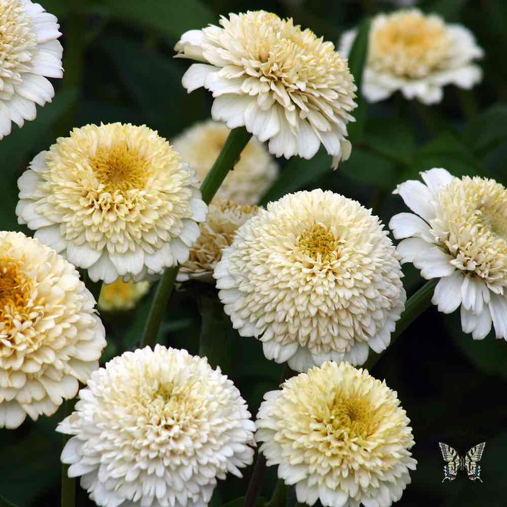 Zinnia seeds 117 zinnias huge selection of annual flower seeds zinderella white zinnia seeds mightylinksfo