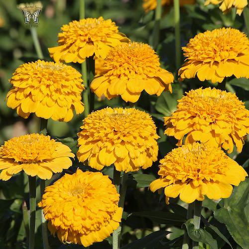 Zinderella Yellow zinnia seeds