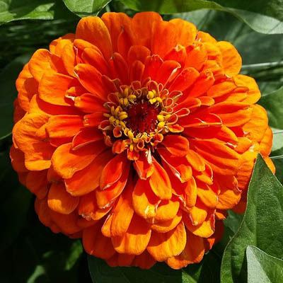 Master Elite Bronze zinnia seeds
