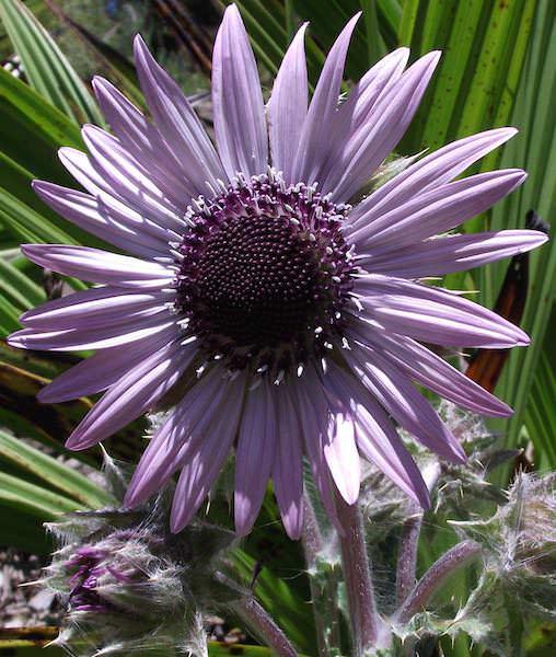 Zulu warrior seeds purple berkheya perennial flower seeds zulu warrior berkheya purpurea mightylinksfo