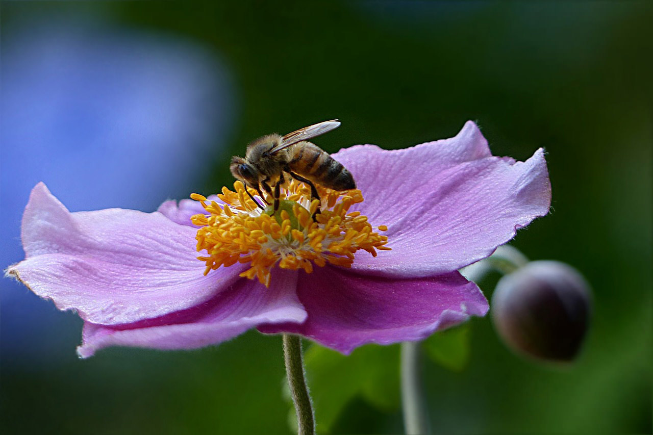 Bee on Anemone flower