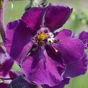 Verbascum spp.
