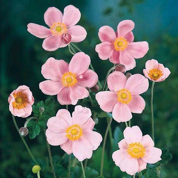 21 top cutting garden flowers swallowtail garden seeds anemone mightylinksfo