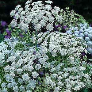 laceflower cut flower filler