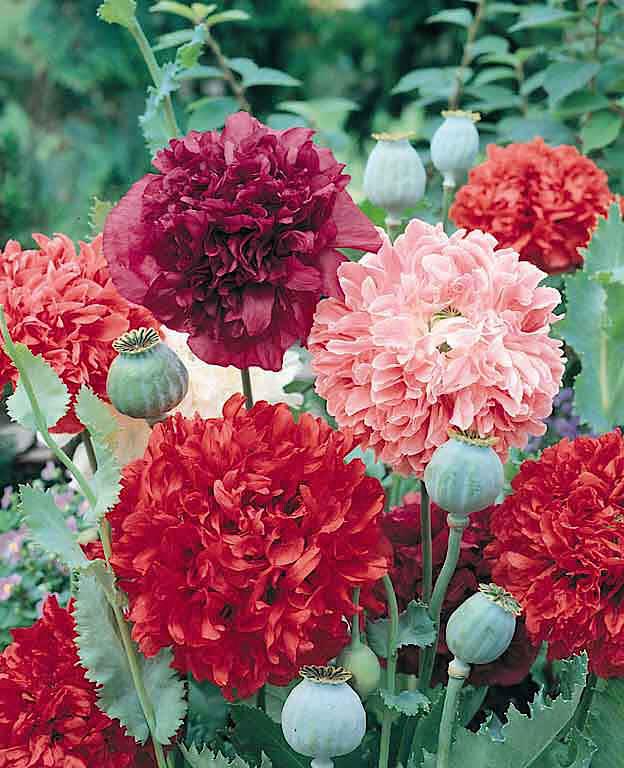 21 top cutting garden flowers swallowtail garden seeds peony poppy cut flower mightylinksfo