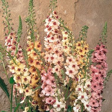 Southern Charm Verbascum Flowers