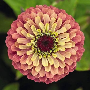 Queen Red Lime Zinnia Flower
