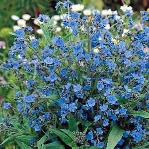 Anchusa Flower