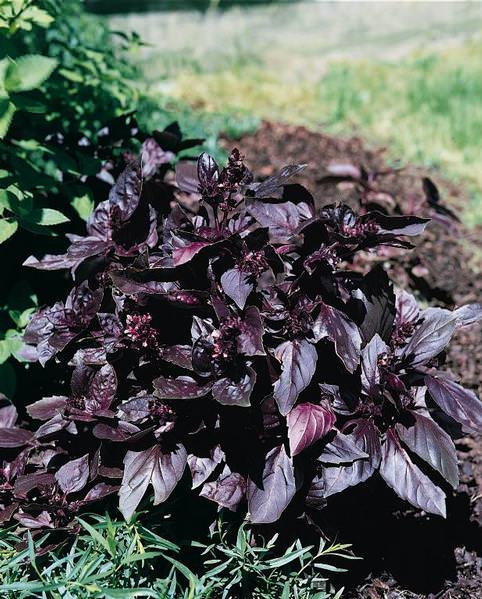 Red Rubin organic basil
