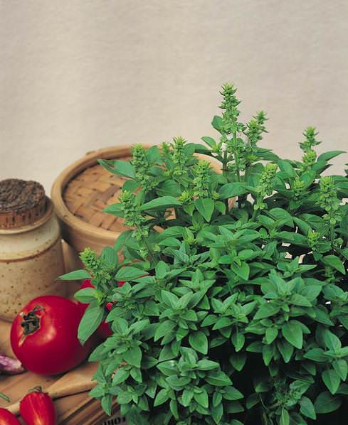 Spicy Bush (Greek Basil) basil