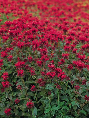 Bee balm Panorama Red Shades herb seeds. Bright red flowers. Leaves used to make Oswego Tea.