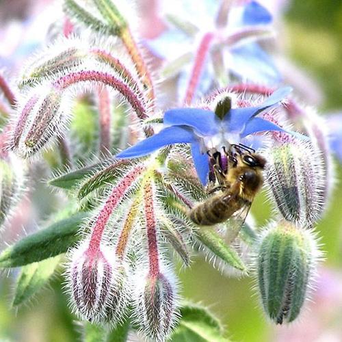 borage flower with honeybee