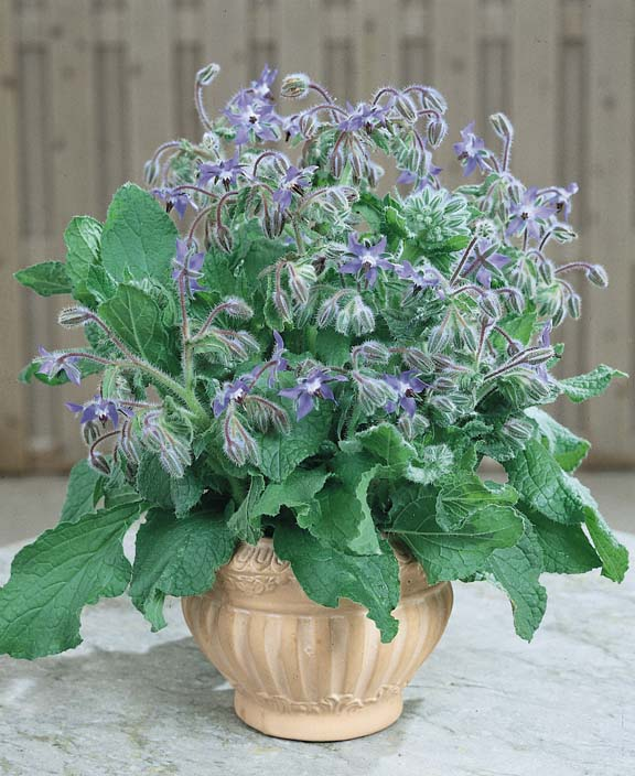 Borage with blue flowers blooming in a small, ceramic pot.
