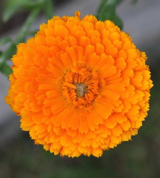 Calendula Erfurter Orangefarbige - medicinal calendula flowers