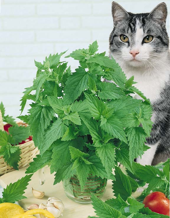 Catnip plant in container as cat watches.