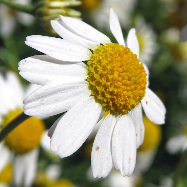 'Bodegold German' chamomile white flower with yellow center
