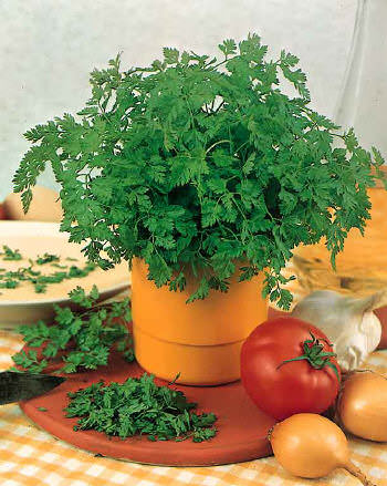 Brussels Winter chervil