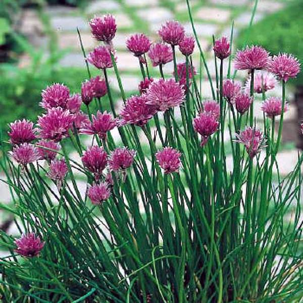 Chives plants covered in flowers