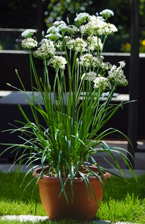 Garlic Chives plant flowering in terracotta pot.