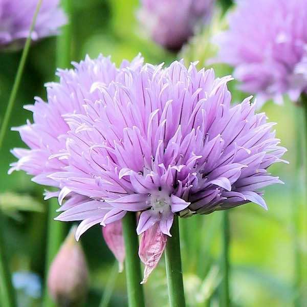 Staro Chives - Allium schoenoprasum