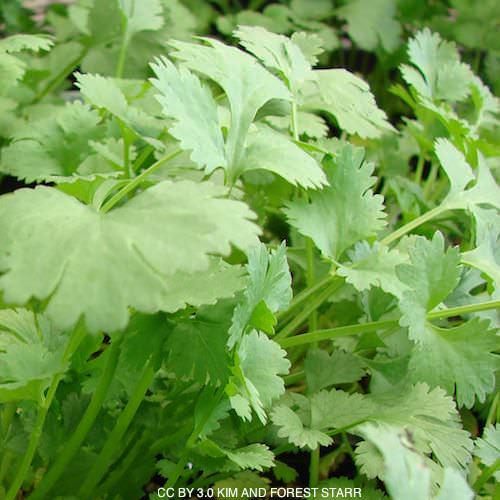 Cilantro Calypso Coriander herb seeds