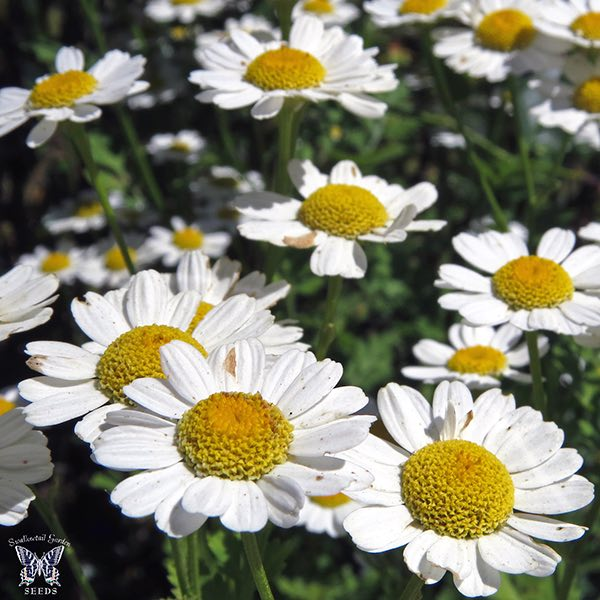 Feverfew seeds - White daisy-like flowers with yellow centers on 3 ft. tall perennial plants.