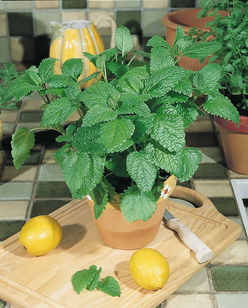 Citronella lemon balm seeds