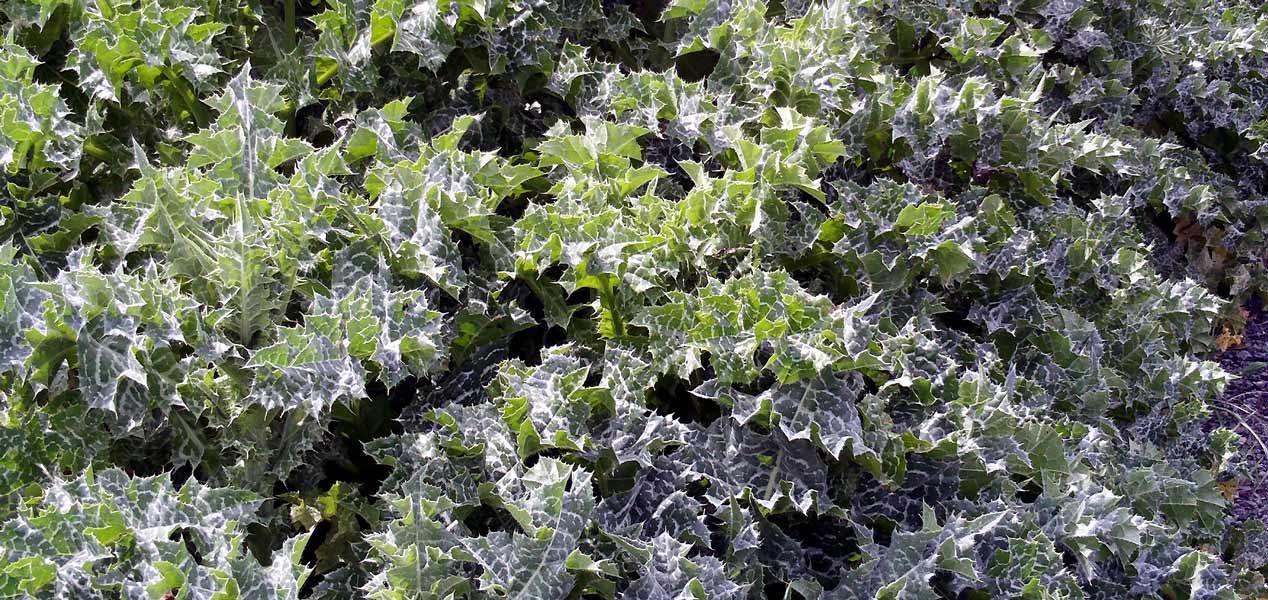Milk Thistle seeds - Silybum marianum
