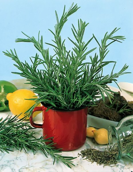 Rosemary sprigs displayed in red coffee cup container.