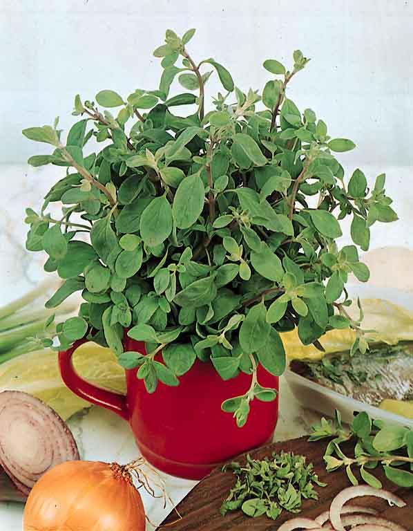 Sweet marjoram plant growing in container