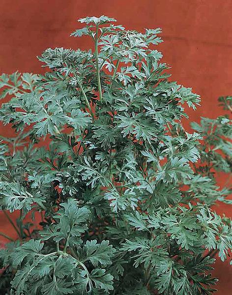 Wormwood - Artemisia absinthium