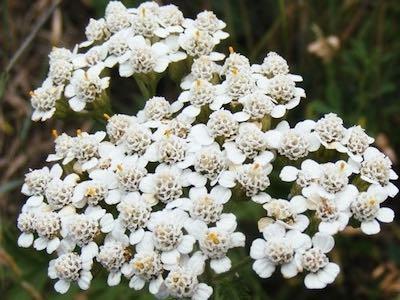 Yarrow Proa white flowers - herb garden seeds.