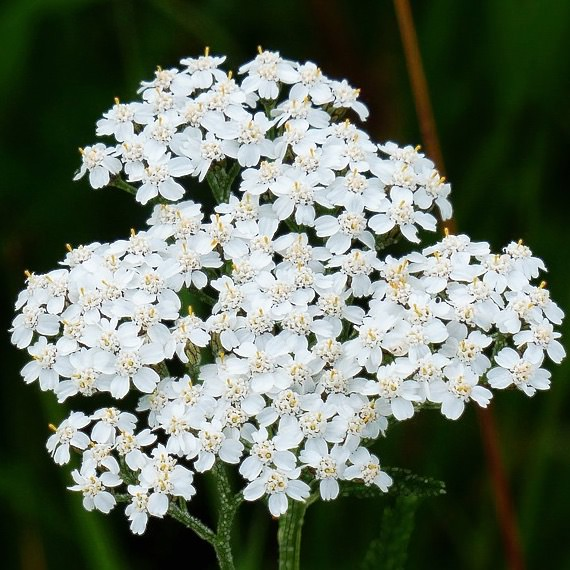 Proa Herbal Yarrow - Achillea millefolium