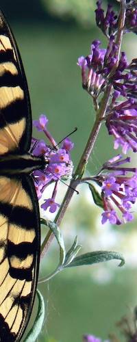 Swallowtail butterfly sipping nectar from butterfly bush flowers.