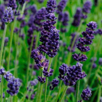 English Lavender flowers started from seeds.