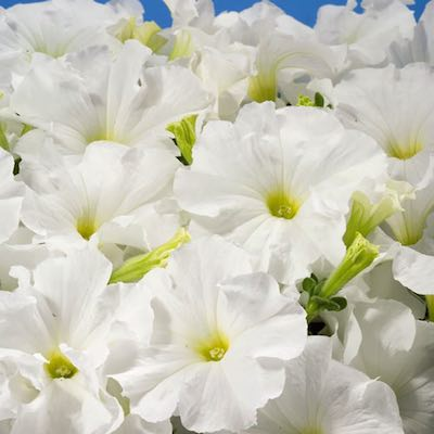 Petunia flowers are started from seeds.