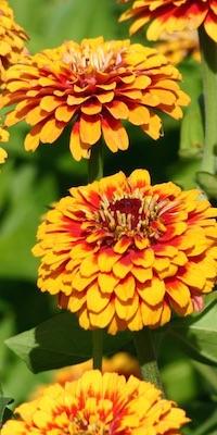 Zinnia flowers raised from seeds.