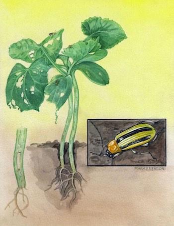 striped cucumber beetle