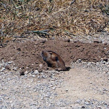 Gopher popping head out of hole
