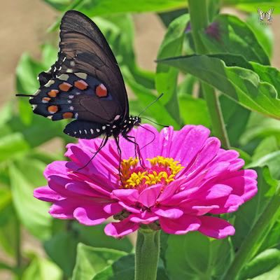 Zinnia flower with a butterfly.