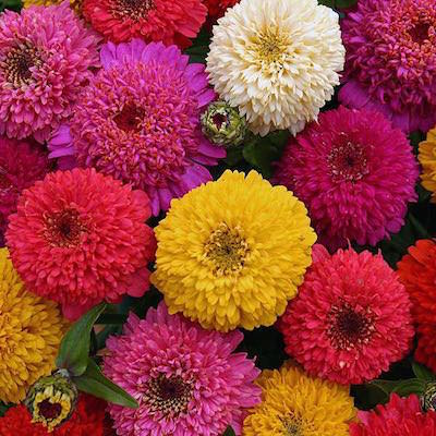 Scabiosa-type flowers in a wide range of colors.