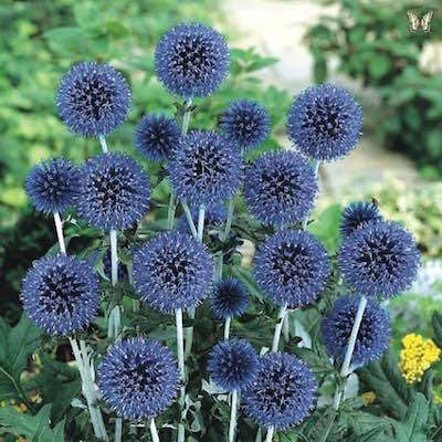 Blue Globe Thistle blossoms