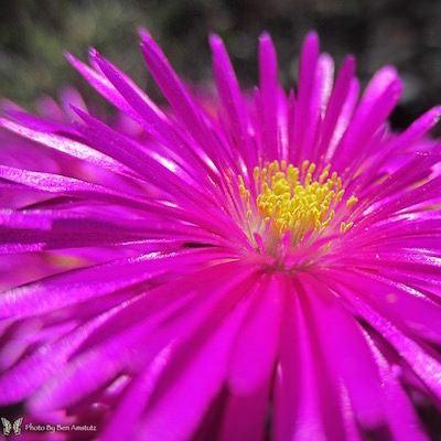 vibrant pink ice plant