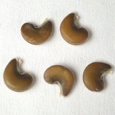 Close up on hollyhock seeds
