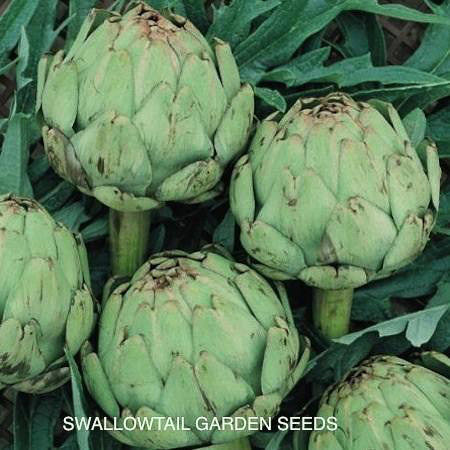 Imperial Star artichokeflower buds
