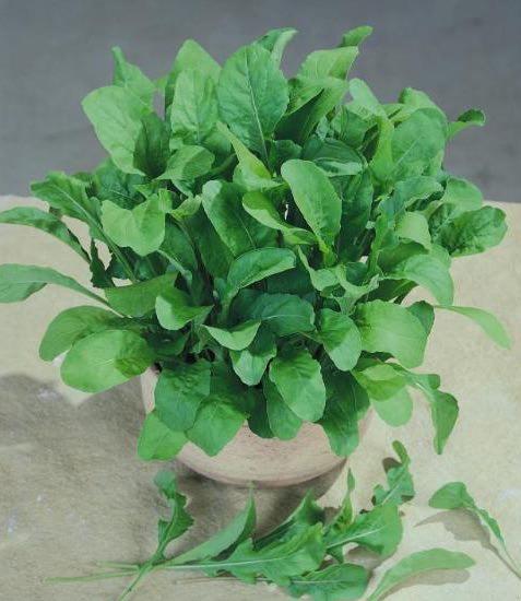 Astro arugula - organic seeds