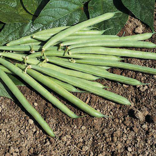 Bush bean Provider - organic seeds