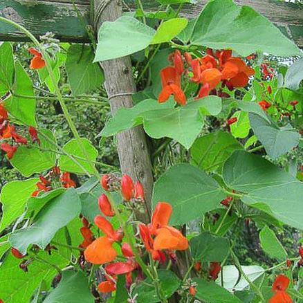 Scarlet Emperor runner bean with brilliant scarlet flowers.
