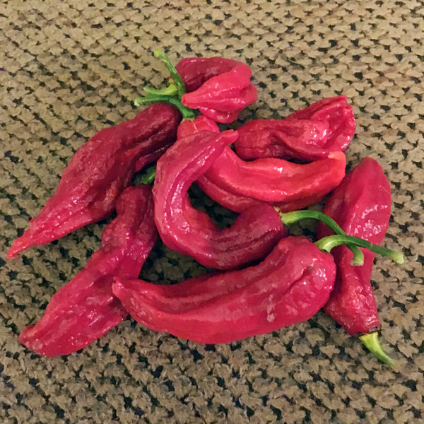 Ghost pepper - Bhut Jolokia